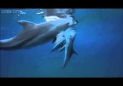Delfine ziehen Kugelfische durch um high zu werden